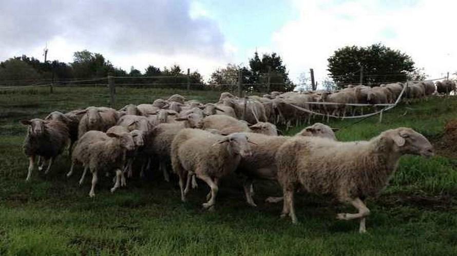 pecore-di-Langa-murazzano