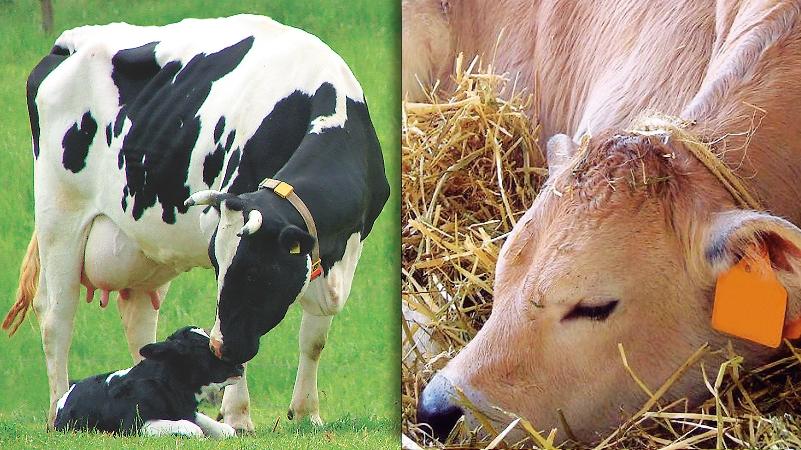 Diagnosi gravidanza latte e carne