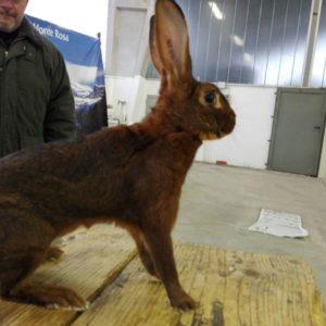Mostra conigli Santhià 2017